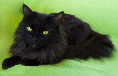 לשחרר חתול שחור