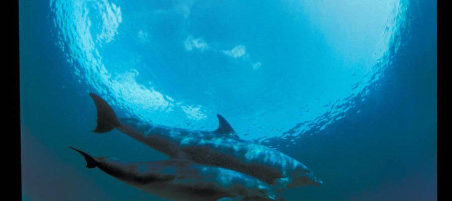 שני דולפינים בים